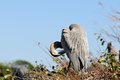 Great Blue Heron preening Royalty Free Stock Photo