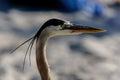 Great Blue Heron Profile Royalty Free Stock Photo