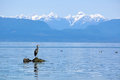 Great blue heron on rock stands a with sea around and snow capped mountains in the distance taken at seal bay nature park Royalty Free Stock Photography