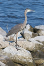 Great Blue Heron on Rocks Royalty Free Stock Image