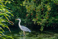 Great blue heron in a shallow river