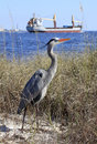 Great blue heron on the shore as a ship passes in tall grass large tanker by Stock Photos