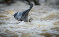 Great Blue Heron Splash in River Fishing Royalty Free Stock Photo