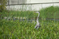Great blue heron stalking prey Stock Photo