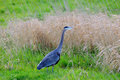 Great blue heron standing in a farm field delta bc Royalty Free Stock Image
