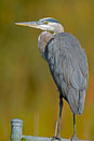 Great blue heron standing fence Royalty Free Stock Image