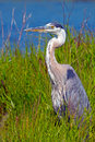 Great blue heron standing in the marsh grass Royalty Free Stock Photography
