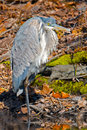Great blue heron standing one leg Stock Photography