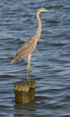 Great Blue Heron Standing on Pile Royalty Free Stock Images