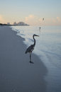 Great Blue Heron Standing on the Shore at Dawn Royalty Free Stock Photo