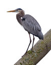 Great blue heron standing on tree on white background Stock Photo