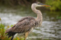 Great Blue Heron standing by the water. It is the largest North Royalty Free Stock Photo