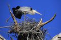 Great blue heron stretching in it s nest a after a long day on eggs Stock Photo