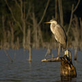 Great Blue Heron on a stump Royalty Free Stock Photos