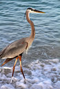 A Great Blue Heron in the Surf Royalty Free Stock Photo