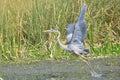 Great Blue Heron Flight Royalty Free Stock Photo