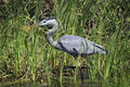 Great blue heron wading through the cattails a looking for it s next meal Stock Images