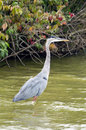 Great Blue Heron wading in the fall Royalty Free Stock Photography