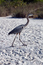 A great blue heron walking on the beach ardea herodias is large wading bird in family ardeidae common near shores of open water Stock Images