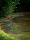 Great Blue Heron in water fishing Royalty Free Stock Photo