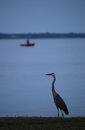 Great Blue Heron on Water's Edge with Fishing Boat Royalty Free Stock Photo