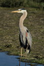 Great blue heron in wetlands a standing water a swamp or species ardea herodias Stock Photo