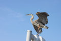 Great blue heron with wings spread Royalty Free Stock Images