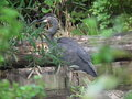Great blue heron wonderful bird brought back from near exstinction by the fish and game department s hard work Stock Photo