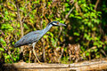 Great blue heron a young sunning himself on a tree branch along the banks of ladybird lake in austin texas Stock Image