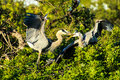 Great blue herons battle this image of a couple of in a for territory or a female was captured at the rookery in venice florida Royalty Free Stock Image