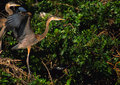 Great Blue Herons in nest Royalty Free Stock Image