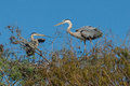 Great blue herons nesting with nesting material in the female s beak wakodahatchee wetlands delray beach florida Royalty Free Stock Image