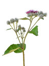 Great burdock arctium lappa flowering on a white background Stock Photo