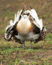 Great Bustard (Otis tarda) Royalty Free Stock Photo