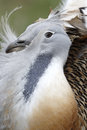 Great bustard otis tarda single male on grass released birds in wiltshire march Royalty Free Stock Photos