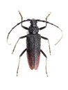 Great capricorn beetle (Cerambyx cerdo) isolated on white Royalty Free Stock Photo