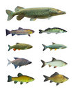 Great collection of a freshwater fish. Royalty Free Stock Photo