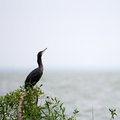 The great cormorant phalacrocorax carbo at coast of curonian lagoon of baltic sea nida lithuania europe Royalty Free Stock Photography