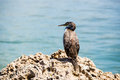 Great cormorant resting on a rock Stock Photo