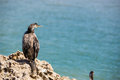 Great cormorant resting on a rock Royalty Free Stock Photo