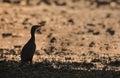 Great cormorant on sunset phalacrocorax carbo bardia national park nepal Stock Photography