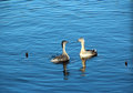 Great Crested Grebe Chickens in Blue Lake Royalty Free Stock Photography