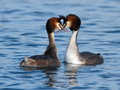 Great crested grebe ducks courtship Royalty Free Stock Photo