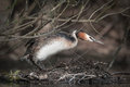 Great crested grebe a female climbs back onto her nest platform after a short fishing trip her under side is covered with droplets Stock Photography