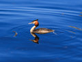 Great crested grebe mirroring in the water swims and mirrors clear Royalty Free Stock Photo