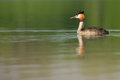 Great crested grebe a in the morning Royalty Free Stock Image