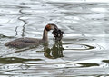 Great Crested Grebe with Nesting Material Stock Photography