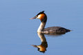 The great crested grebe podiceps cristatus Royalty Free Stock Photo