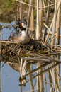 Great crested grebe podiceps cristatus a on a nest Stock Photography