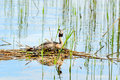 Great crested grebe (Podiceps cristatus) Royalty Free Stock Photo